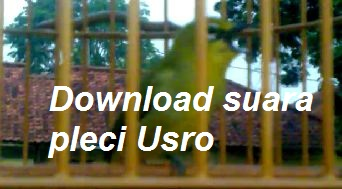 Download suara burung pleci Usro