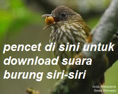 download suara burung siri-siri