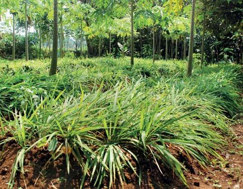 Kandungan senyawa aktif semakin meningkat seiring bertambahnya umur tanaman