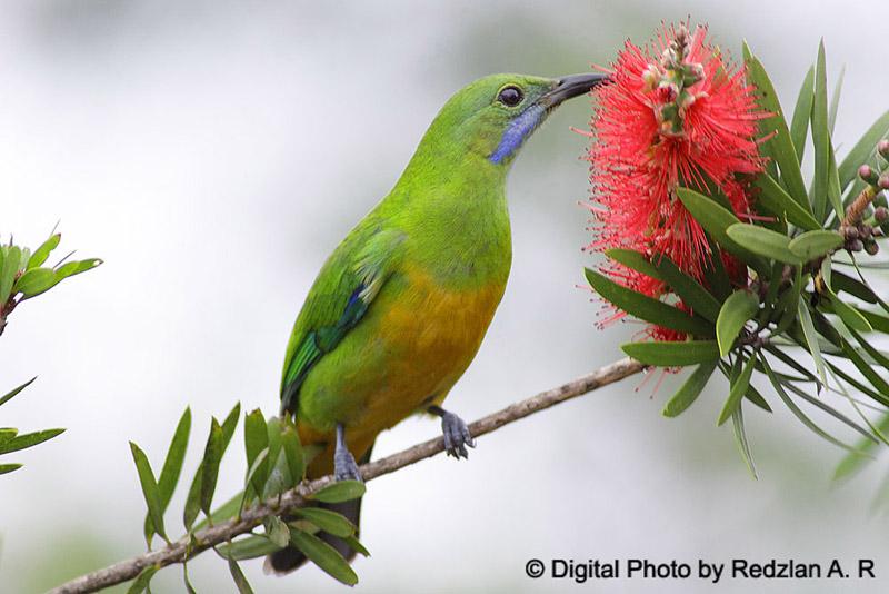 Orange bellied leafbird atau cucak cungkok betina