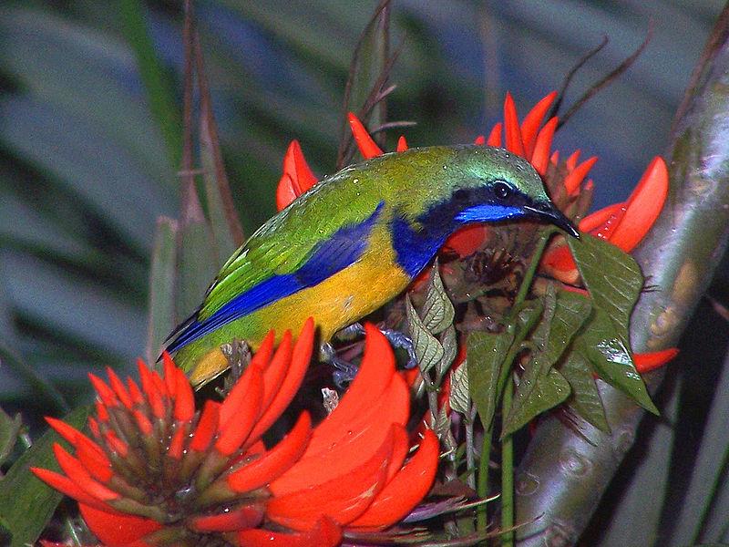Orange bellied leafbird atau cucak cungkok
