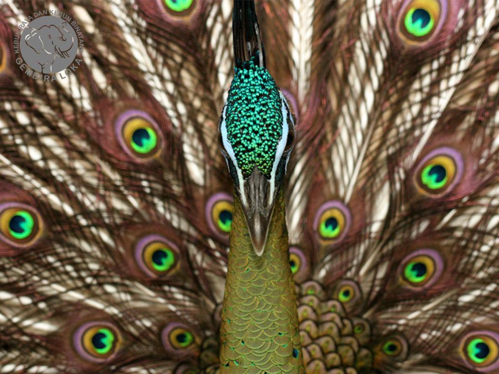 Pavo muticus - Burung Merak Gembira Loka