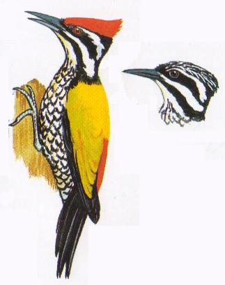 Warna Warni Berbagai Jenis Burung Pelatuk Di Indonesia Om Kicau