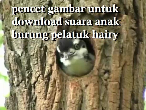 Pencet gambar ini untuk download suara anak burung pelatuk hairy