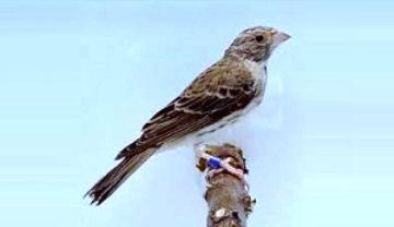 suara burung edel sanger