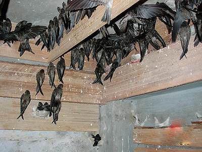 Suara burung walet rombongan