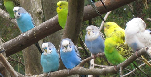 suara parkit rombongan ternyata merangsang burung lain