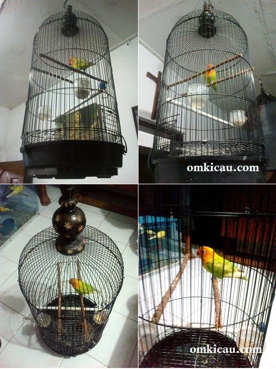 Tenggeran ganda untuk mencegah burung suka bergelantungan atau berputar di tenggeran