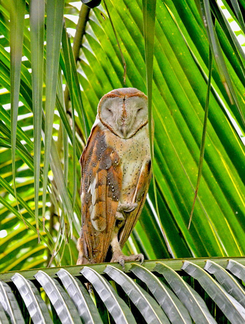 Ajay-Tharavath-barn-owl
