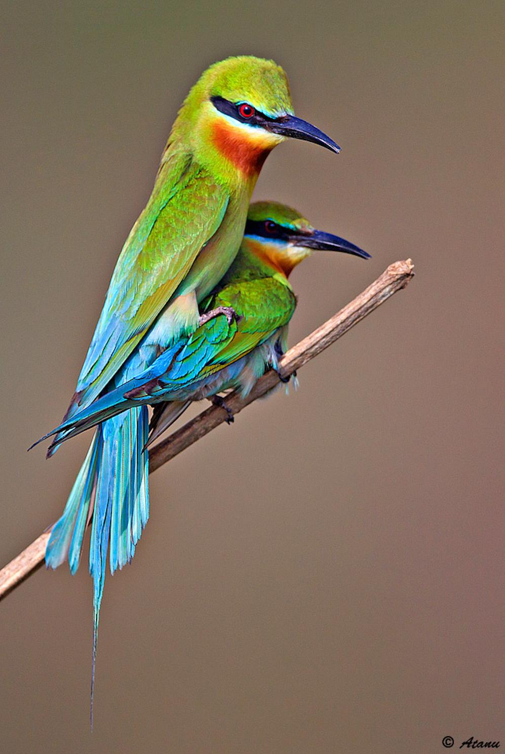 Atanu-Mondal-Green-Bee-eaters