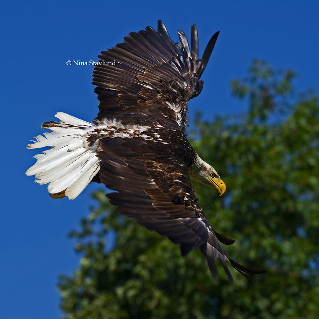 bald eagle nina stavlund