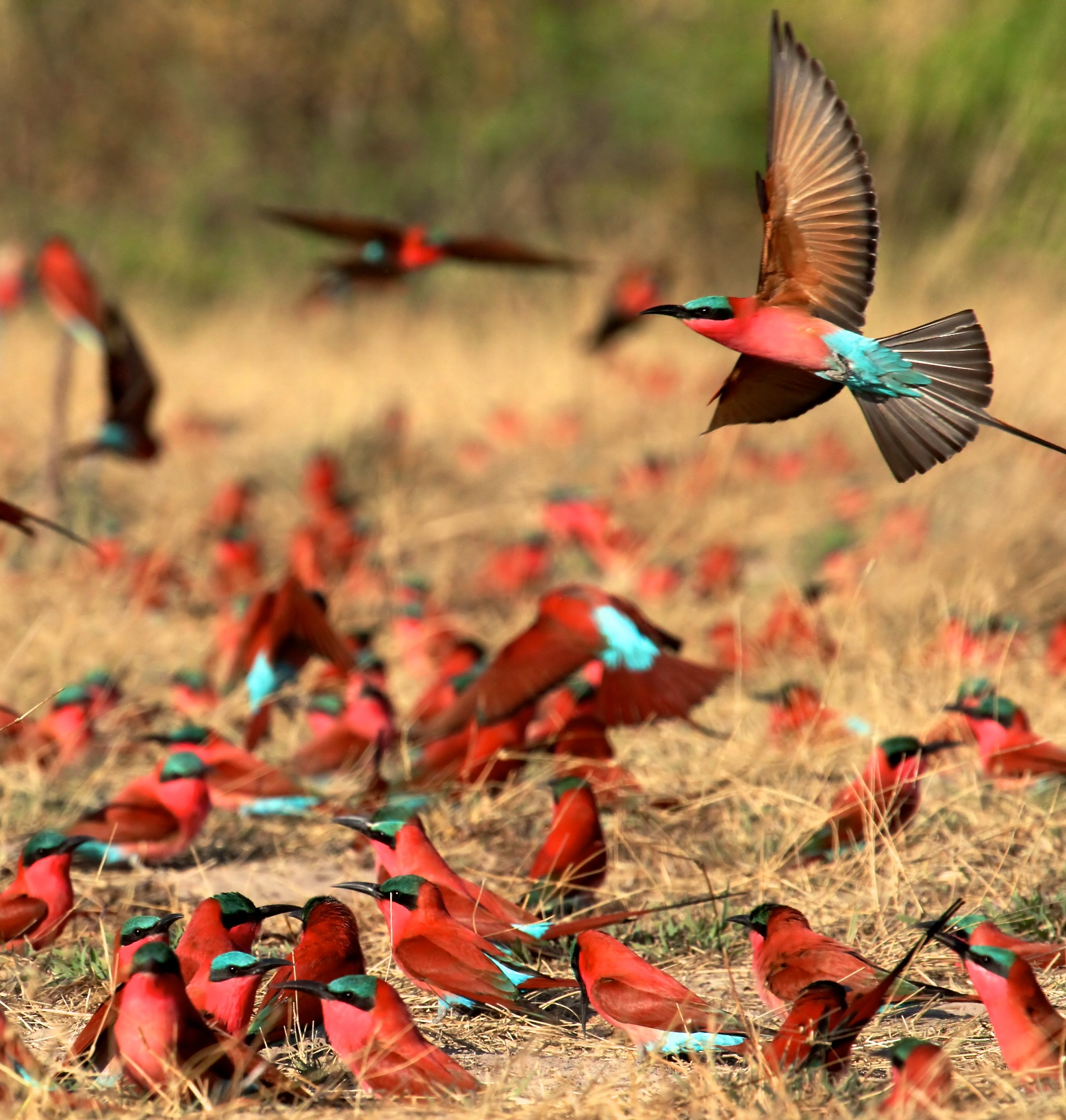 Bee-eaters-at-Kalizo-Celesta-von-Chamier