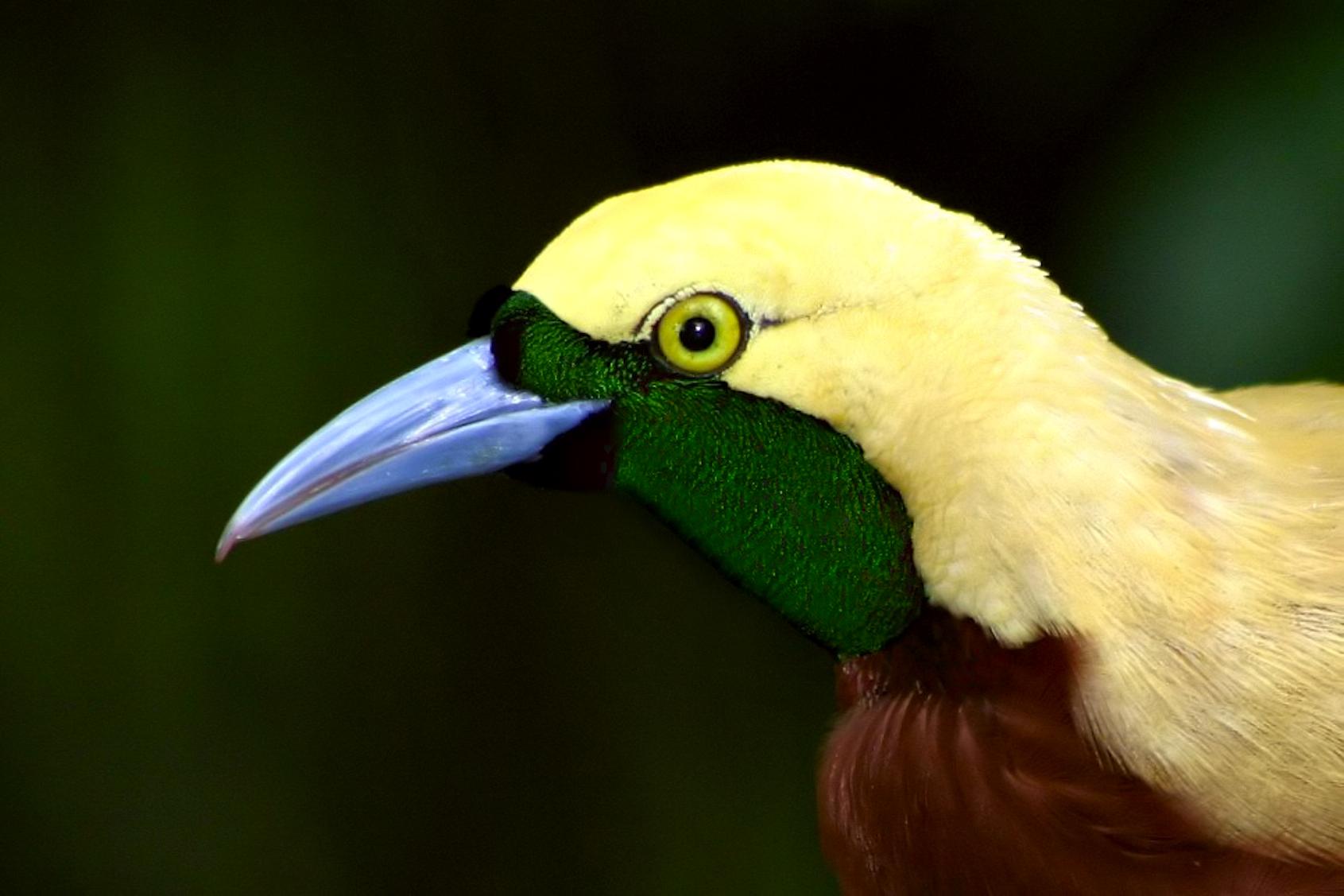 Bird-of-Paradise_Peter-Pischler