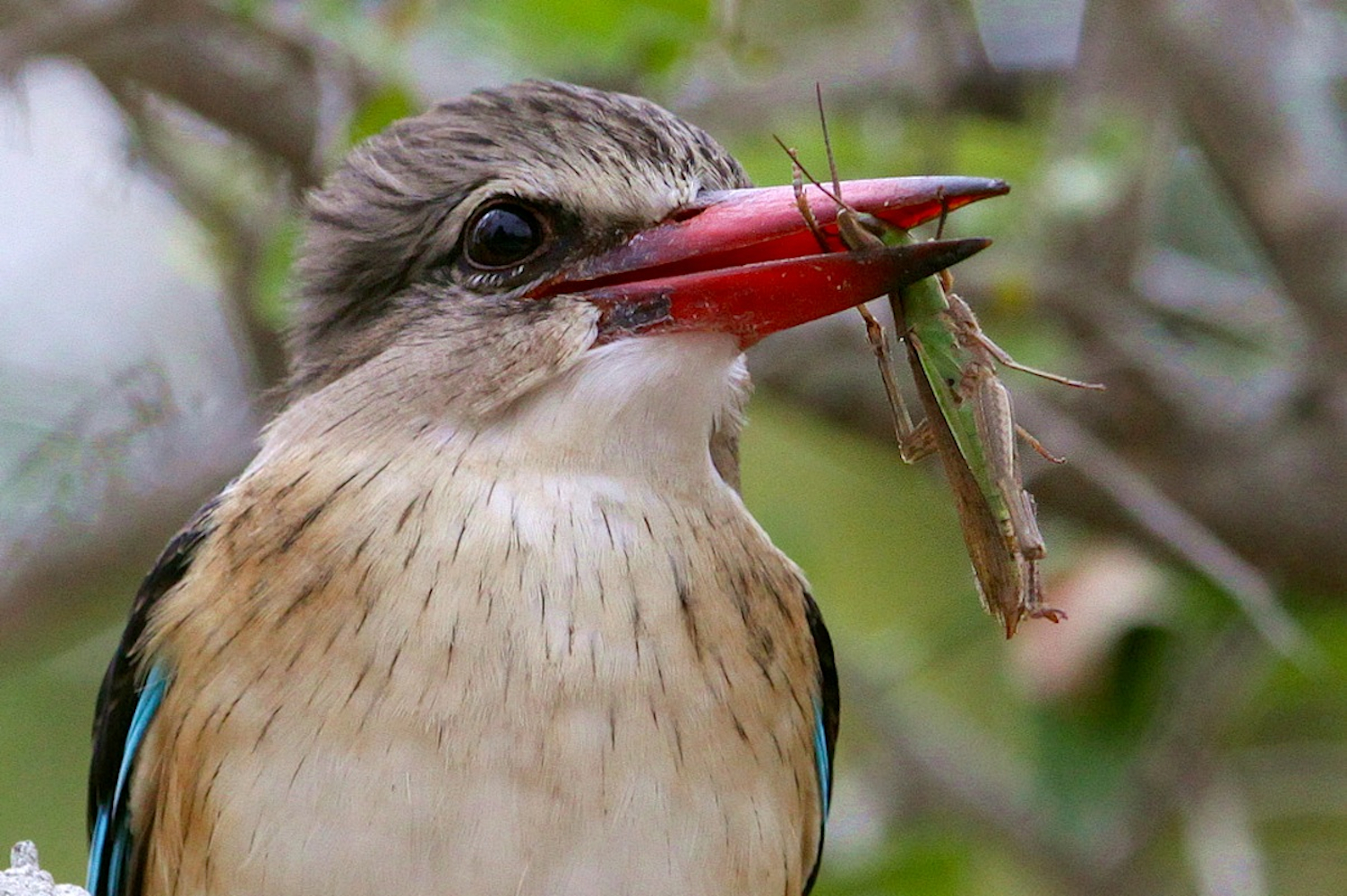 Brownhooded-Kingfisher-with-Locust_Peter-Pischler