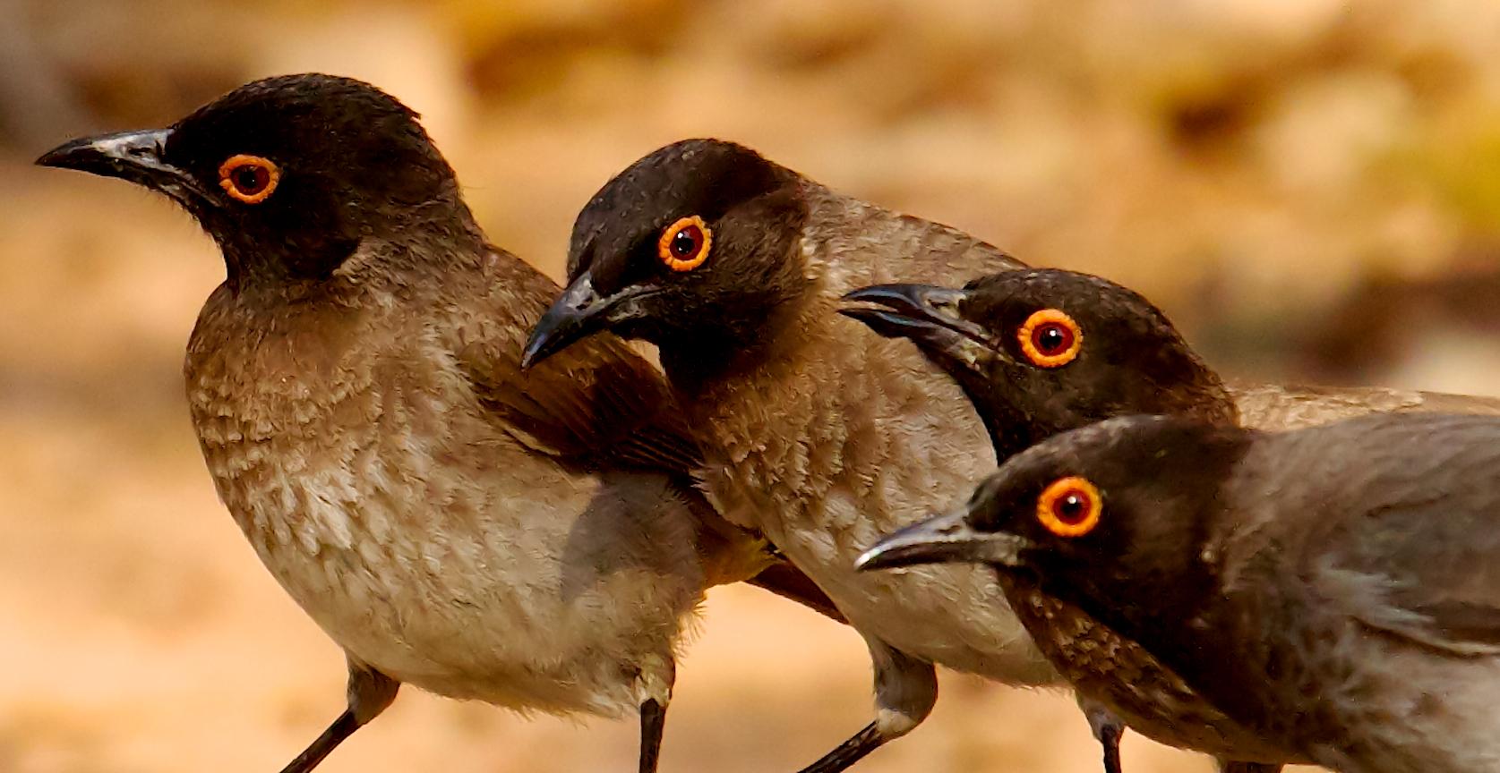 Red-eyed Bulbul Namibia