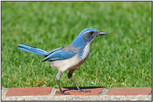 Burung jay