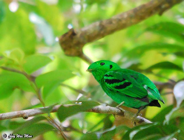 Calyptomena viridis atau burung Madi-hijau Kecil