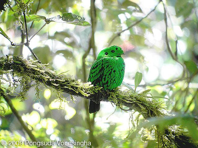 Calyptomena whiteheadi atau burung Madi-hijau Whitehead