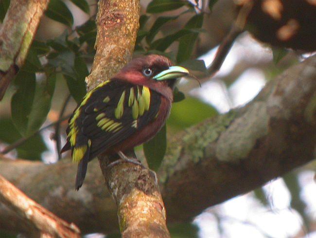 Eurylaimus javanicus atau burung Sempur-hujan Rimba