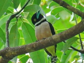 Eurylaimus ochromalus atau burung Sempur-hujan Darat