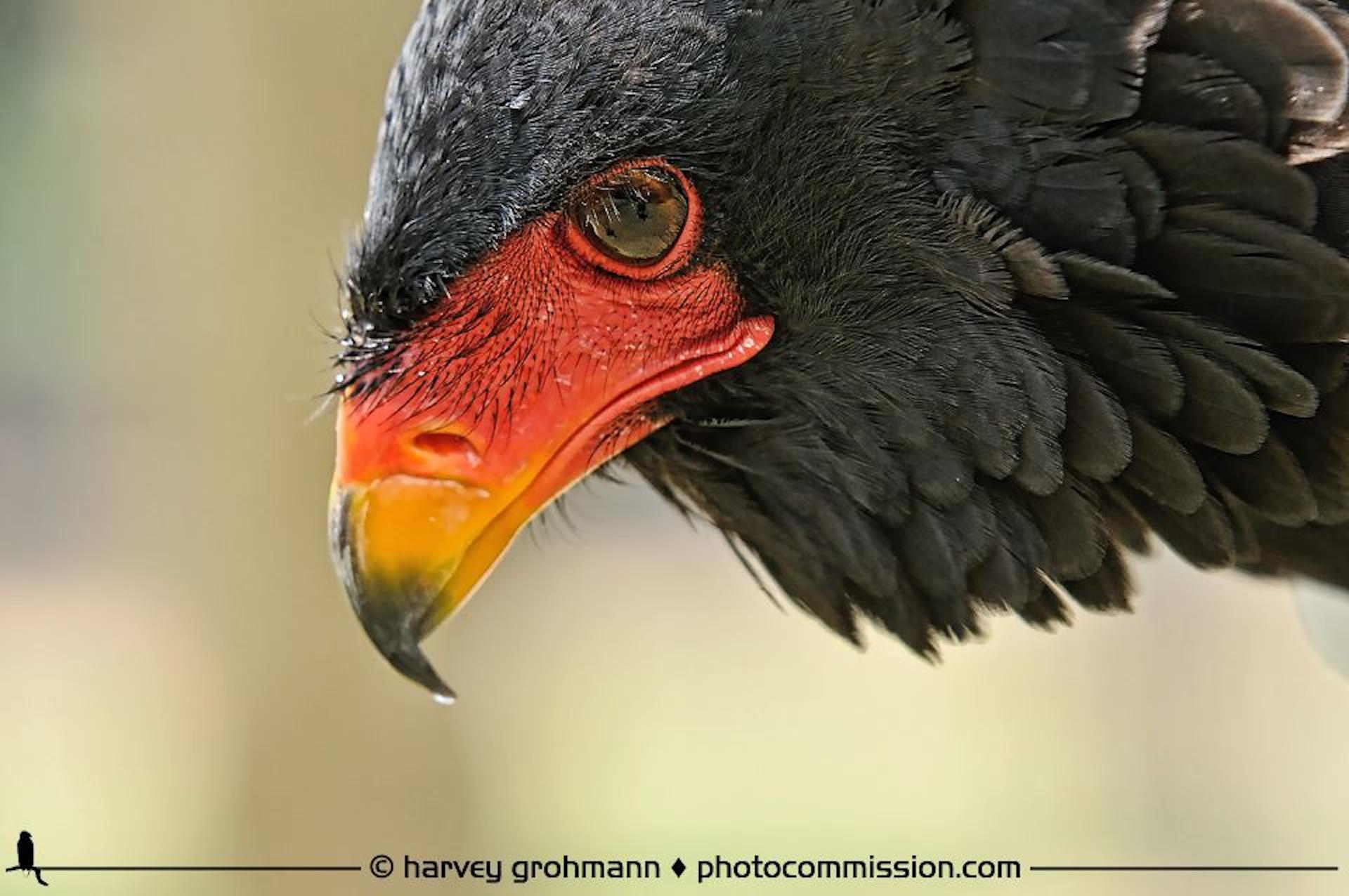 Harvey-Grohman-Bateleur