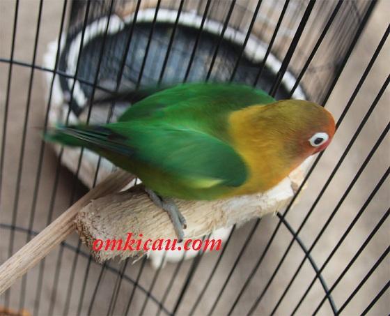 kayu sebagai pereda birahi burung lovebird