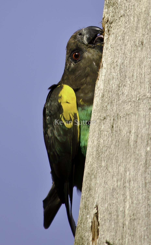 Kevin-Sutton-Birds-2