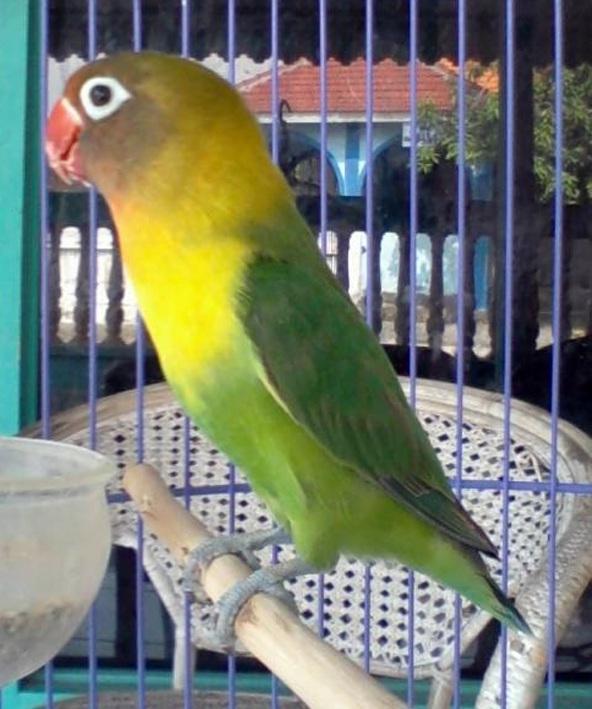Perawatan burung lovebird jawara