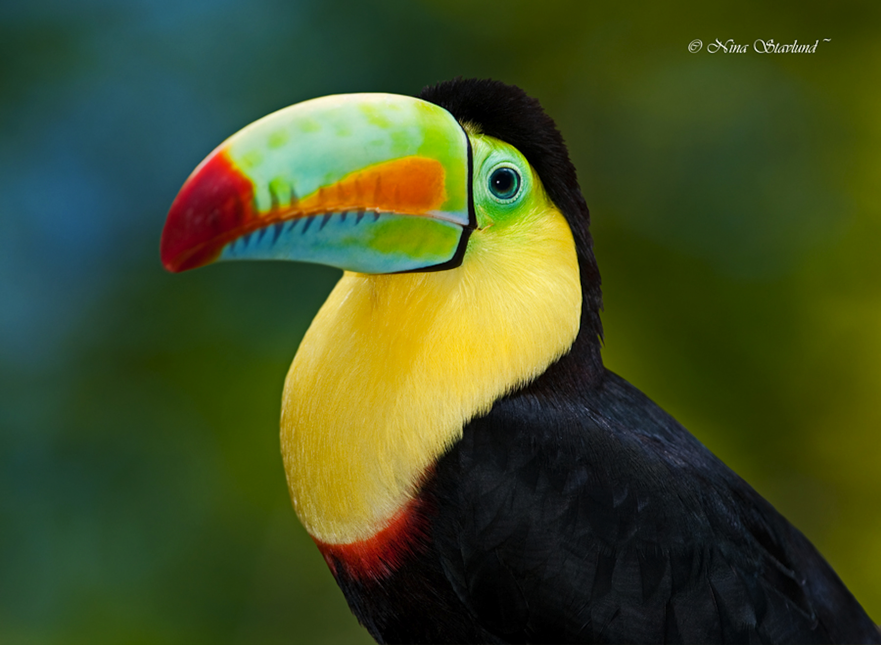 Nina-Stavlund-keel-billed-toucan