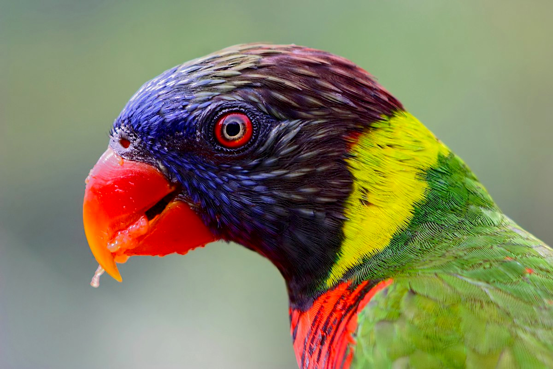 Peter-Pischler-Rainbow-Lorikeet-Java-Indonesia