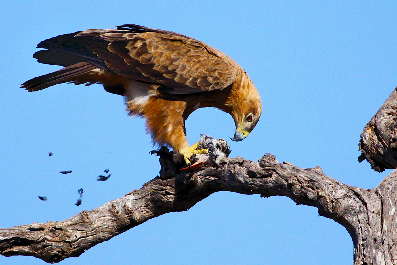 Peter-Pischler-Tawny-Eagle-with-Hornbill