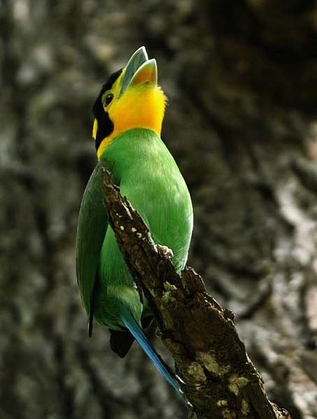 Psarisomus dalhousiae atau burung Madi Injab