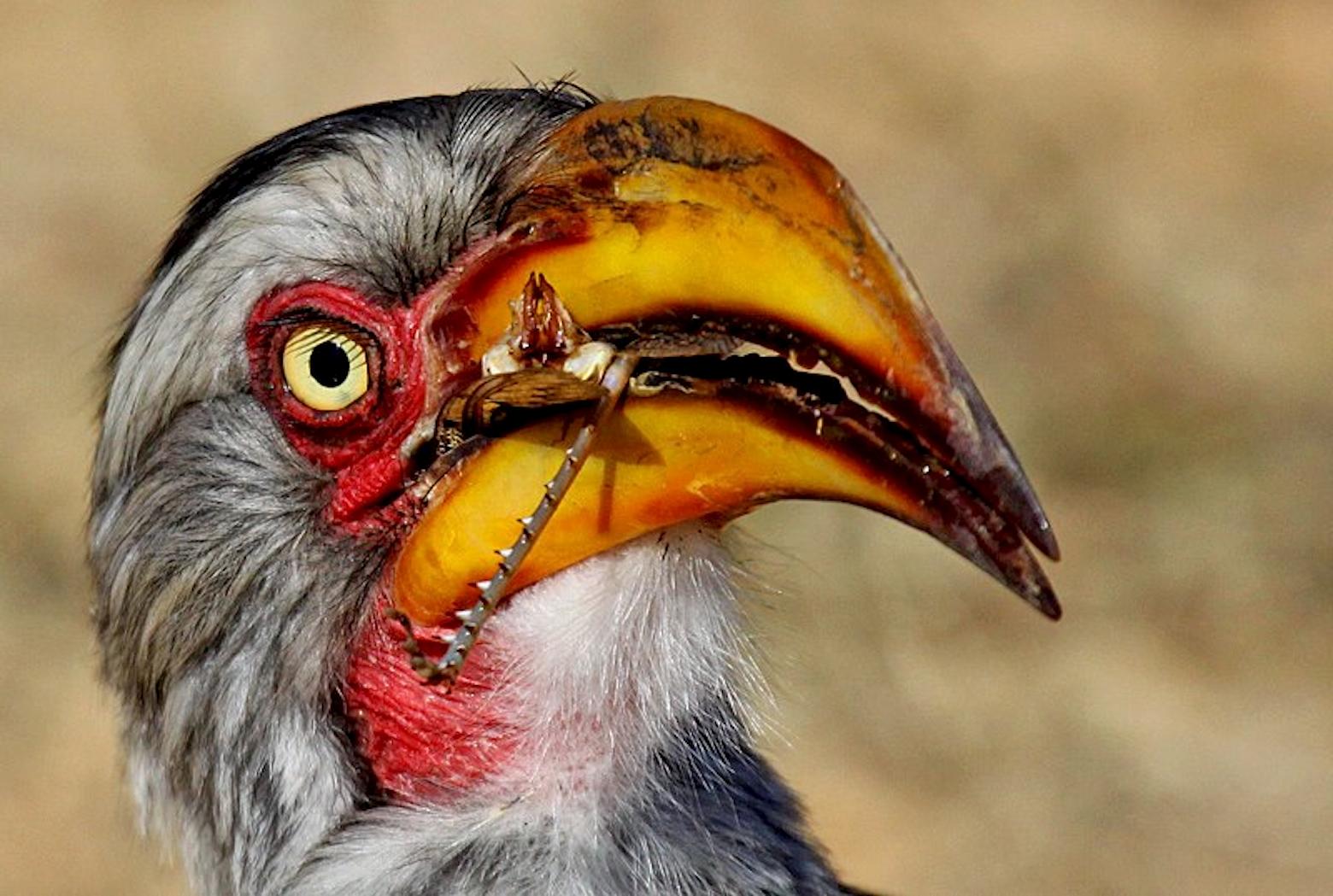 Rodnick-Clifton-Biljon-Southern-Yellow-billed-hornbill