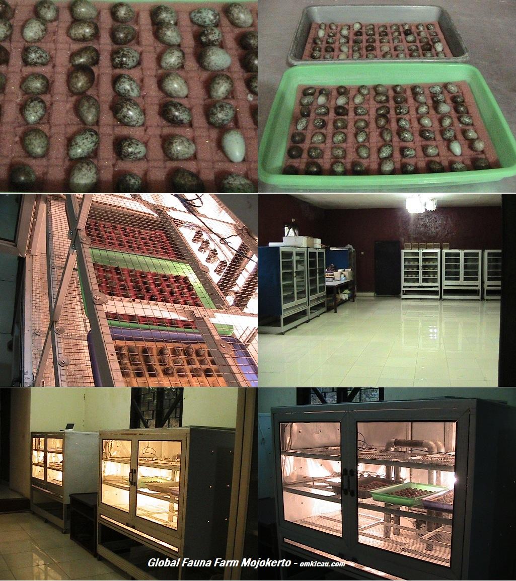 Telur dan mesin tetas Global Fauna Farm Mojokerto