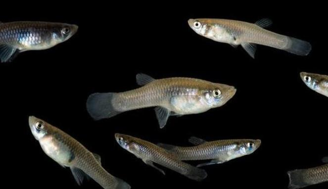 Ikan sebagai pakan alami burung