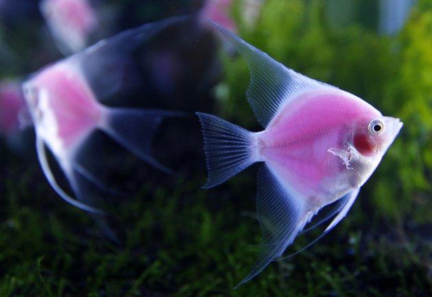 Angelfish - Pterophyllum - yang dimodifikasi secara genetik