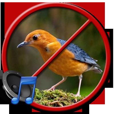 Penyebab Burung Anis Merah Drop dan Solusinya