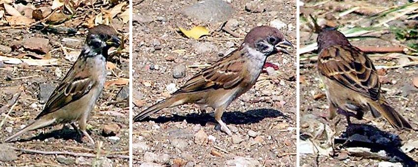 Mengintip Burung Gereja Di Alam Bebas Om Kicau