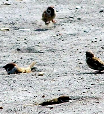 burung-gereja-mandi-pasir-prambanan