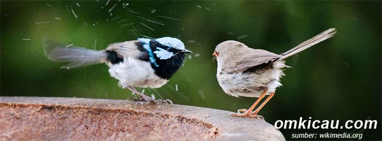 Burung Malurus