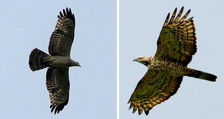 Burung Sikep Madu Asia
