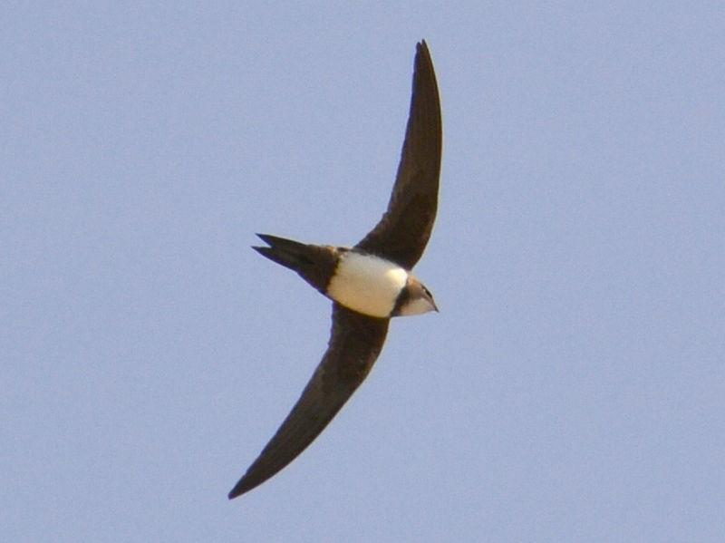 Burung walet alpine atau Tachymarptis melba