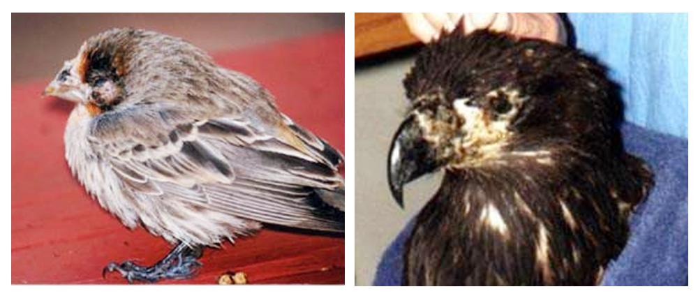 cacar-burung-biasa