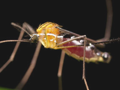 Nyamuk pembawa vektor virus avian pox