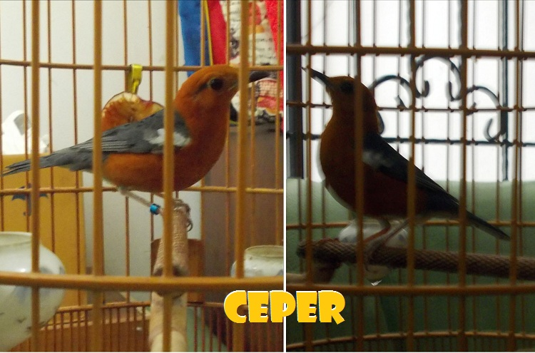 Ceper-Upload