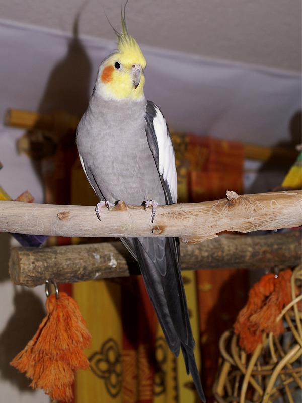 Kepintaran cockatiel menyanyikan lagu