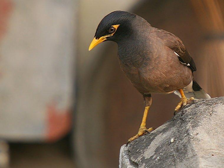 Burung-Jalak-Common_myna