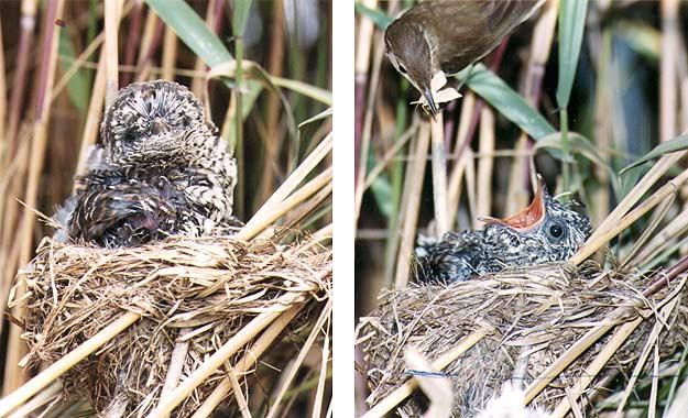 Induk Tiri Burung Kedasih