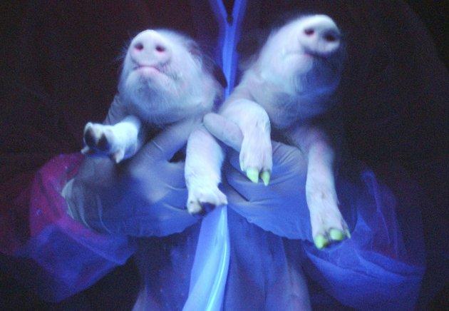 Dua babi transgenik terlihat menunjukkan protein fluorsen hijau di kuku-kukunya di Harbin, Provinsi Heilongjiang, Cina