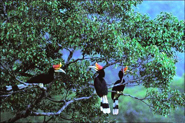 Burung Enggang Gading Hidup di Atas Pohon